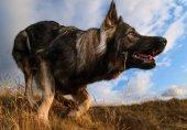 سگی که جانش ۷۰ هزار دلار ارزش دارد!
